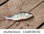 freshwater perch lying on... | Shutterstock . vector #1168538152