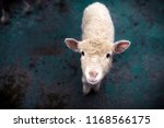 A Young Sheep Looks Into The...