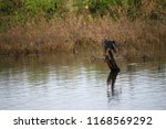 cormorant on branch on the... | Shutterstock . vector #1168569292
