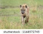 hyena  hyaenidae    in the... | Shutterstock . vector #1168572745