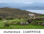 a lone sheep standing on a... | Shutterstock . vector #1168595518