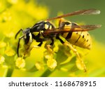 a wasp sits on a yellow flower  ... | Shutterstock . vector #1168678915