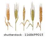 different varieties of wheat... | Shutterstock .eps vector #1168699015