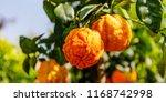 citrus aurantium corrugato or... | Shutterstock . vector #1168742998