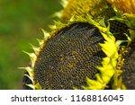 ripe sunflower. beautiful... | Shutterstock . vector #1168816045