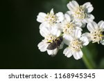 big blowfly  nasty fly  on snow ... | Shutterstock . vector #1168945345