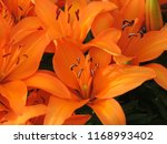 orange tiny invader lily... | Shutterstock . vector #1168993402