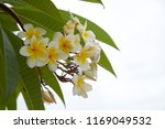 frangipani flowers close up... | Shutterstock . vector #1169049532
