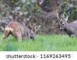 two roe deers with beautiful... | Shutterstock . vector #1169263495