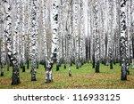 Beautiful Autumn Birch Grove I...