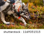 hunting dog seeking prey in the ... | Shutterstock . vector #1169351515