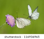 Black Veined White Butterflies...