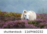 White New Forest Pony In The...