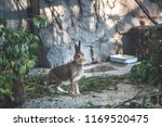 Stock photo gray hare is eating leaves on a farm 1169520475