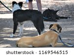 dogs socializing at canine...   Shutterstock . vector #1169546515