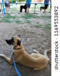 boxer cross at canine club   Shutterstock . vector #1169553892