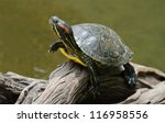 A Red Eared Slider Turtle...