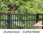 red male northern cardinal bird ... | Shutterstock . vector #1169670868