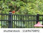 red male northern cardinal bird ... | Shutterstock . vector #1169670892