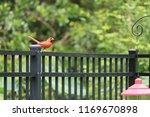 red male northern cardinal bird ... | Shutterstock . vector #1169670898