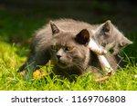 Stock photo family of cats outdoor cat with the baby kitten on grass cat hugs kitten cat plays kitten 1169706808