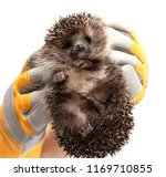 hedgehog in hands on a white... | Shutterstock . vector #1169710855