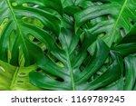 tropical jungle monstera leaves ... | Shutterstock . vector #1169789245