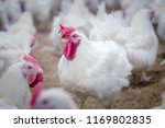 Poultry Farm With Broiler...
