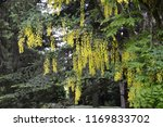 laburnum anagyroides   small... | Shutterstock . vector #1169833702