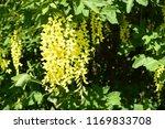 laburnum anagyroides   small... | Shutterstock . vector #1169833708