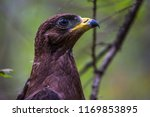 hawk honeydew. a hawk on a tree ... | Shutterstock . vector #1169853895