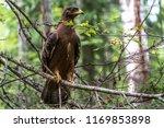 hawk honeydew. a hawk on a tree ... | Shutterstock . vector #1169853898