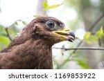 hawk honeydew. a hawk on a tree ... | Shutterstock . vector #1169853922