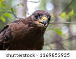 hawk honeydew. a hawk on a tree ... | Shutterstock . vector #1169853925
