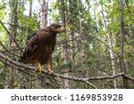 hawk honeydew. a hawk on a tree ... | Shutterstock . vector #1169853928
