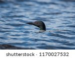 a common loon swimming in the... | Shutterstock . vector #1170027532