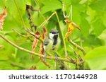 the great tit  parus major  is... | Shutterstock . vector #1170144928