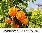 orange citrus fruits grow on... | Shutterstock . vector #1170227602