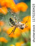 Argiope Bruennichi  Wasp Spider ...
