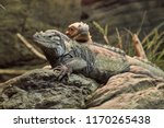 iguanas resting calmly on a rock | Shutterstock . vector #1170265438