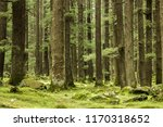 Thick Green Coniferous Forest...