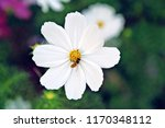 White Cosmos Bipinnatus  Sonata ...