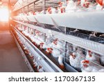 Poultry farm  chickens sit in...