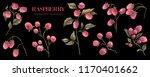 watercolor raspberry. botanical ... | Shutterstock . vector #1170401662