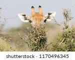giraffe  giraffa camelopardalis ... | Shutterstock . vector #1170496345