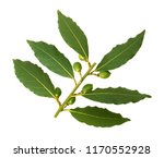 bay leaves on a branch with... | Shutterstock . vector #1170552928