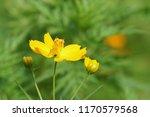 yellow cosmos or cosmos... | Shutterstock . vector #1170579568