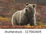 Grizzly  Ursus Arctos  Bear ...