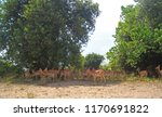 Impala Antelope Standing In Th...