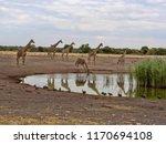 south african giraffe group ... | Shutterstock . vector #1170694108